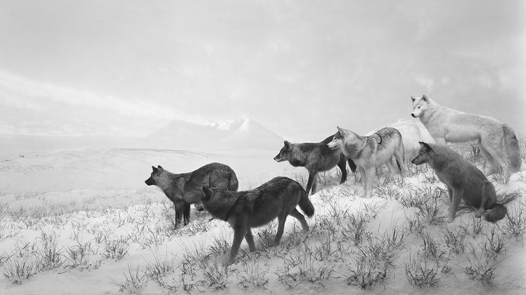 "Hiroshi Sugimoto ""Alaskan Wolves"" 1994 © Hiroshi Sugimoto"